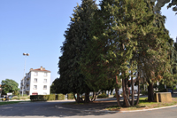 Place Allende,  le Chamaecyparis a marcotté.