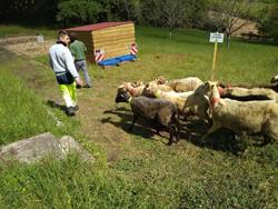 Arrivée des 12 moutons